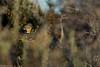 Come tocino patagónico (?) (C.hess-fg) Tags: cometocino patagonia sur chile porvenir nikon nikond5200 naturaleza nature wild wildlife ave animal aves avesdechile bird birdwatching birds tiny pequeño tierradelfuego nativo