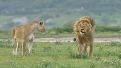 Come along and stop throwing a tantrum (John Kok) Tags: tanzania ndutu april2018 lion pantheraleo nikkor30028vr2