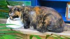 Key West (Florida) Trip 2017 7641Ri 9x16 (edgarandron - Busy!) Tags: cat cats kitty kitties florida keys floridakeys keywest blue heaven jesk calico