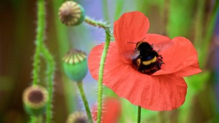 Buff-tailed Bumble Bee on Poppy