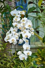 Tropical Orchids (Andrea Garza ~) Tags: florida keywest orchid flowers floral tropical tropicalflower plants floridakeys gardening usa travel wanderlust vacation sightseeing