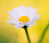 Yellow (Bereczki Zoltán László) Tags: nature flow flower flowers spring colors light nikon nikond810 tokina tokina100mmf28 beauty blossoms blooming macro