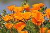 Californian Gold Rush (Gunn Shots.) Tags: californianpoppy sunny poppy gold
