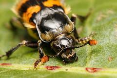 Common burying beetle (Ham Wall) (Steve Balcombe) Tags: insect burying sexton beetle coleoptera nicrophorus vespillo orange black antennae rspb hamwall somerset levels avalon marshes uk