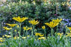 Yellow Daisys (Nonnaof4) Tags: yellow flickrfriday lowangle 2018onephotoeachday daisy cmwd cywdyellow