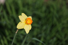 IMG_7184 (Bob90901) Tags: daffodil spring portland maine flower depthoffield light yellow green rpg90901 focus bokeh sooc canon 6d canonef70200mmf28lisiiusm canon70200f28lll 2017 may 0752