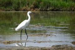 Aigrette garzette (Marc ALMECIJA) Tags: oiseau bird aves vogel eau water wasser aqua nature natur wildlife outside outdoor aigrette