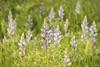 (Draconauta) Tags: flores flowers flor flower morado purple verde green