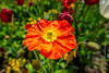 Flowers (Lucien Schilling) Tags: marigold spring natural color flowers blossom floral mainau beauty flower orange red garden type summer petal macro flora plant nature poppy leaves konstanz green bloom yellow petals field badenwürttemberg germany de