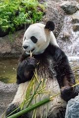 Enjoying bamboo (poormommy) Tags: alberta calgary calgaryzoo giantpanda panda pandapassage damao beginnerdigitalphotographychallengewinner