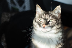 extra stripes (jojoannabanana) Tags: 3652018 abstract cat eyes light lines morning shadows stripes tabby whiskers
