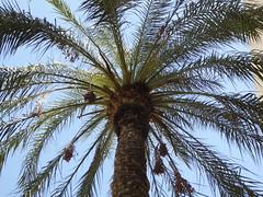 Date Tree (Aldene.Gordon) Tags: phoenixaz musical instrument museum date tree