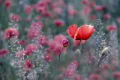 **** (Raffaella Coreggioli ( fioregiallo)) Tags: fioregiallo fuji tulipani campo campagnaveneta natura rosso