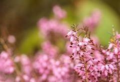 Spring (Karen_Chappell) Tags: spring flower floral nature macro pink green bokeh heath heather garden canonef100mmf28usmmacro newfoundland nfld botanicalgarden stjohns canada atlanticcanada avalonpeninsula flowers buds pastel