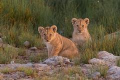 Lion Cubs (Hector16) Tags: namiriplains eastafrica tanzania serengeti wildlife nature shinyangaregion tz ngc npc gettyimages