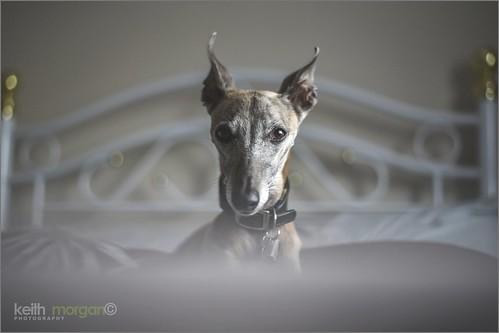 Mollie the whippet #whippet #whippets #petdog #pet #dog #dogs #mansbestfriend #mollie #petportrait #portraitphotography #animal #doglover #animallover #nikond750 #nikon #nikonuser #60mm #nikon60mm #naturallight #keithmorganphotography #keithmorgan