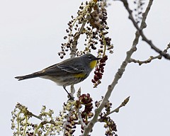 Yellow-rumped warbler (Audubon's) (material guy) Tags: colorado rockymountainarsenalnwr audubons yellowrumpedwarbler