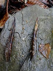 Zweifarbiger Schwindling - Cryptomarasmius corbariensis auf Olivenblatt, NGID73912868 (naturgucker.de) Tags: ngid73912868 naturguckerde cryptomarasmiuscorbariensis 649561984 2128523129 1692859629 chorstschlüter