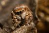 Attulus (Sitticus) penicillatus ♀ (Jerome Picard) Tags: sitticus araignée penicillatus salticidae jumpingspider spider rarespecies france fr maineetloire attulus araignéesauteuse saltique salticide arachnid arthropoda