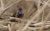 Blauwborst - Luscinia svecica - Bluethroat (merijnloeve) Tags: blauwborst luscinia svecicablauwborst svecica bluethroat brabantsche biesbosch brabantse noordwaard achterste kievitwaard nb werkendam gemeente algemeen vogel bird birdwatching