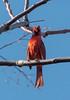 Crimson Crooner (johnmcboston) Tags: bird apartment cardinal