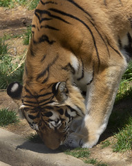 National Zoo 3 May 2018  (930) Tiger (smata2) Tags: tiger tigre flickrbigcats bigcats smithsoniannationalzoo zoo zoosofnorthamerica itsazoooutthere animals zoocritters