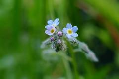 Myosotis (Forget-me-not) (Sandrine Rouja) Tags: fleurs flower spring printemps fleur plante macro detail bleu blue myosotis