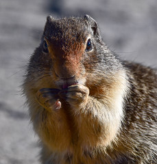 Squirrel with a Secret? (maytag97) Tags: maytag97 nikon d750 tamron 150600 150 600 squirrel ground nature animal outdoors wildlife mammal background closeup wild curious rodent portrait cute pretty one brown looking small funny fur furry