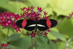 Butterfly 2018-23 (michaelramsdell1967) Tags: butterfly butterflies macro nature insect insects animal animals beauty beautiful black red white pretty bug bugs vivid vibrant spring flowers garden delicate wing wings fragile lovely closeup upclose green zen