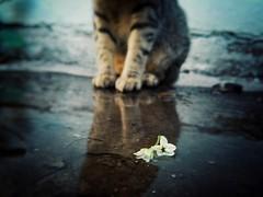 ○● El amor es universal y carece de etiquetas. Amo a mi pequeña gatita●○ (ivethmendez86) Tags: cat gato pet love baby flores flowers charco lluvia reflejo macro beautiful hermosa cute kawaiii adorable photooftheday