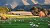 Country life (Miradortigre) Tags: newzealand nuevazelanda country sheep lamb ovejas ovinos isla sur south island otago region