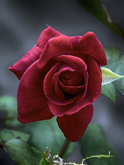 a very special rose (ucumari photography) Tags: ucumariphotography rose 1963 flower bush bloom bud red mothersday may 2018 dsc7618