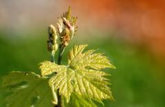 vigne - jeunes pousses (romaneau) Tags: vigne fleurs printemps ugniblanc cognac feuille jeunes pousses jeunespousses charentemaritime