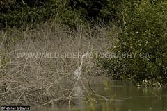 41271 Grey Heron (Ardea cinerea) fishing in mangrove wetlands, Kuala Selangor Nature Park, Selangor, Malaysia. IUCN=Least Concern. (K Fletcher & D Baylis) Tags: wildlife animal fauna bird waterbird pelecaniformes ardeidae heron greyheron ardeacinerea fishing mangroves mangrovewetlands leastconcern kualaselangornaturepark selangor malaysia asia april2018