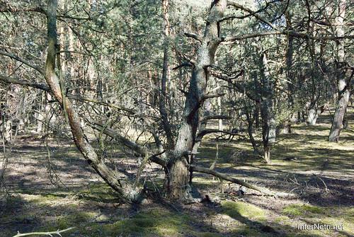 Волинський ліс InterNetri Ukraine 0729094833