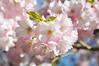 Pink on pink (on blue) (DameBoudicca) Tags: sweden sverige schweden suecia suède svezia スウェーデン cherryblossom sakura kirschblüte 桜 japanischekirschblüte fleursdecerisier fiorediciliegio サクラ körsbärsblomma tree träd 木 baum arbre pink rosa rose ピンク flower blossom blomma blüte flor fiore fleur 花 はな spring vår frühling frühjahr primavera printemps 春 はる