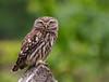 Little Owl (baburhakarar) Tags: kukumav istanbul turkey tr bird nocturnal wildlife nature still noperson green brown riva turkiye ifsak littleowl birdsofprey sony alpha