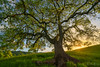 Peace of Mind (Willie Huang Photo) Tags: oaks oaktree trees green spring sunset leaves hills rollinghills california inland lanscape scenic nature