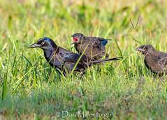 Feed Me (DonMiller_ToGo) Tags: wildlife venicerookery grackle nature onawalk birds outdoors birdwatching rookery d810 blackbird florida