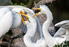 food delivery (fins'n'feathers) Tags: birds egrets greategrets animals wildlife nesting rookery food feeding babies florida staugustine alligatorfarm swamp wadingbirds