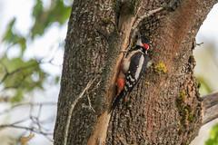 Didysis margasis genys / Dendrocopos major / Great spotted woodpecker (Jonas Juodišius) Tags: lietuva lithuania vilnius vanaginė mažiejigulbinai didysismargasisgenys dendrocoposmajor greatspottedwoodpecker