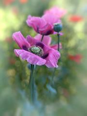 Poppies (Anne Worner) Tags: anneworner em5 lensbaby olympus sweet35 bloom bokeh center flower flowering manualfocus manualfocuslens opiumpoppy pink poppy selectivefocus softfocus stamen blossom petals stamens droplets