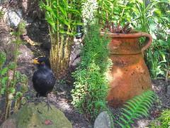 Still friends  ❤ (kevinmcnair) Tags: scotland gardenbirds ukbirds blackbird garden ferns scottishwildlife ukwildlife lunch