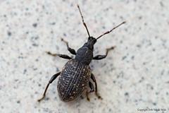 Otiorhynchus sulcatus (DirkVandeVelde back in July) Tags: europa europe europ belgie belgium belgica belgique buiten biologie antwerpen anvers antwerp animalia animal mechelen malines malinas fauna insekt insects insect insekten kever sony