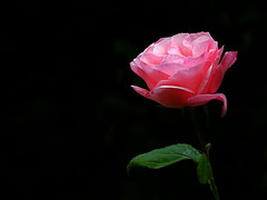 Sorpresa rosa