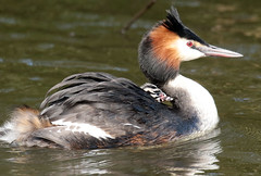 fuut Waterland BB2A6985 (j.a.kok) Tags: fuut vogel bird watervogel waterbird grebe greatcrestedgrebe