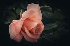 """Rosa es una rosa es una rosa es una rosa"" Gertrude Stein (marysaesteban) Tags: 2018 7dwf españa francia madrid may mmemeilland parquedeloeste rosa rosakalinkacl rosaledademadrid rose spain flora mayo primavera spring"