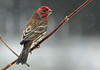 House Finch in an April snowstorm (ctberney) Tags: housefinch haemorhousmexicanus bird snow april sprinter weather backyard nature