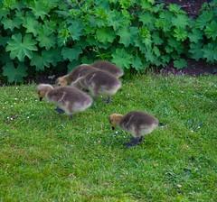 Baby Geese (Adam Swaine) Tags: rspb geese goslings naturelovers nature birds englishbirds britishbirds spring dulwich dulwichpark londonparks canon england english wildlife uk