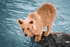 5D_R1234_DAP_000Photo Oil Painting (r.a.foto.art) Tags: rafotoart bear animal water river wild nature brown